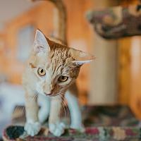 Adopt A Pet :: Butterscotch - Statesville, NC