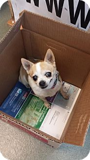 Chihuahua Dog for adoption in Westminster, California - Humphrey