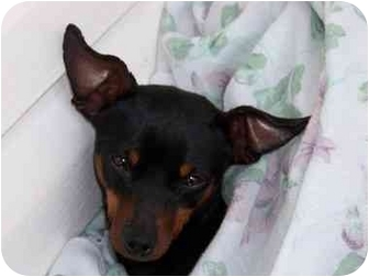 Miniature Pinscher Mix Dog for adoption in Nashville, Tennessee - Lil' Bit