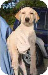 Labrador Retriever Mix Puppy for adoption in Hammonton, New Jersey - Ella