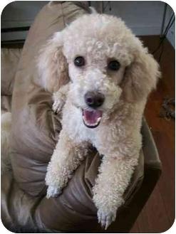 Poodle (Miniature) Dog for adoption in Essex Junction, Vermont - Francois