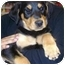 Photo 1 - Doberman Pinscher/Rottweiler Mix Puppy for adoption in West Los Angeles, California - Latika