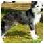 Photo 3 - Wirehaired Fox Terrier/Boston Terrier Mix Dog for adoption in Pawling, New York - PEPPER