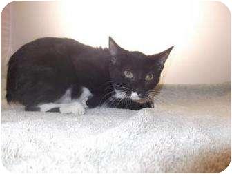 Domestic Shorthair Kitten for adoption in North Charleston, South Carolina - Gracie