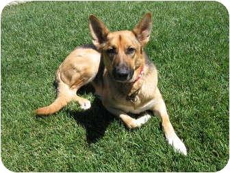 German Shepherd Dog Dog for adoption in Winchester, California - Tanya