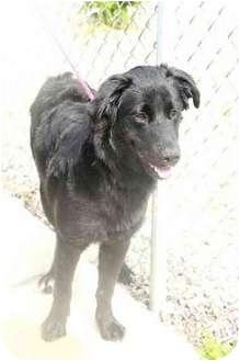 Newfoundland Dog for adoption in Charleston, Illinois - no name