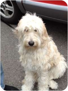 Poodle (Standard)/Goldendoodle Mix Dog for adoption in W. Warwick, Rhode Island - RI - Lulu