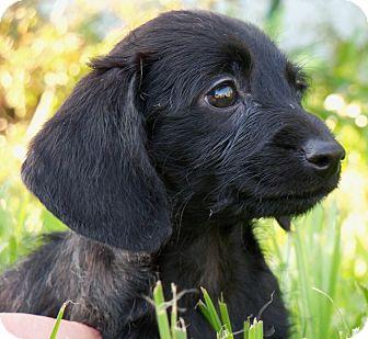 Dachshund Mix Puppy for adoption in Largo, Florida - ALI