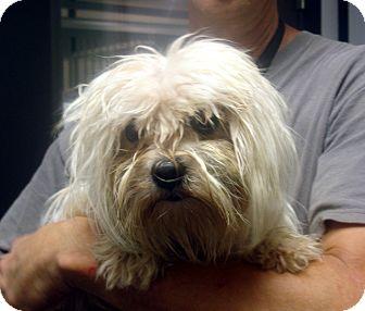 Maltese/Shih Tzu Mix Dog for adoption in Manassas, Virginia - Paisley
