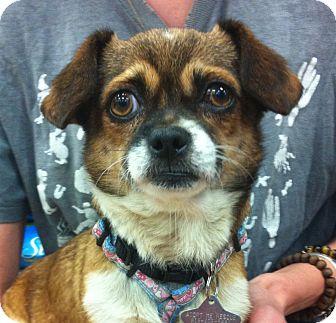 Pug/Chihuahua Mix Dog for adoption in Studio City, California - Emily