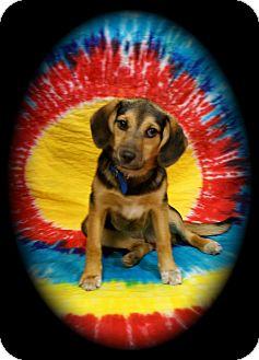 Beagle/Shepherd (Unknown Type) Mix Puppy for adoption in Detroit, Michigan - Charlotte