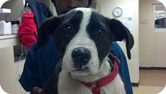 Border Collie/Shepherd (Unknown Type) Mix Puppy for adoption in Atlanta, Georgia - Etta James