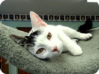 Domestic Shorthair Cat for adoption in Wilton, Connecticut - Yoko