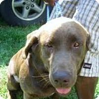 Adopt A Pet :: Cocoa - Longmont, CO
