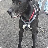 Adopt A Pet :: Duke - York, PA