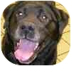 Labrador Retriever Mix Dog for adoption in Eatontown, New Jersey - Tillie