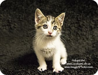 Domestic Shorthair Kitten for adoption in Troy, Ohio - Louie