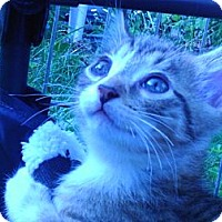 Adopt A Pet :: Super loving Billy Budd - Columbus, OH