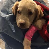 Adopt A Pet :: Feta: Say Cheese Pup - Cumming, GA