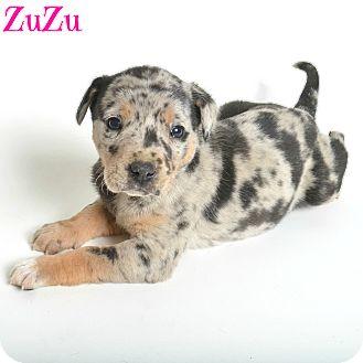 Catahoula Leopard Dog Puppy for adoption in Metairie, Louisiana - Zuzu