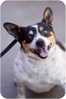 Rat Terrier/Corgi Mix Dog for adoption in Portland, Oregon - Spock