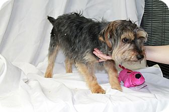 Yorkie, Yorkshire Terrier Puppy for adoption in Yelm, Washington - Riley