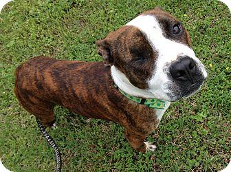 Boxer/American Bulldog Mix Dog for adoption in Chicago, Illinois - Wink