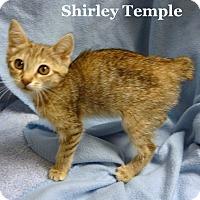 Adopt A Pet :: Shirley Temple - Bentonville, AR