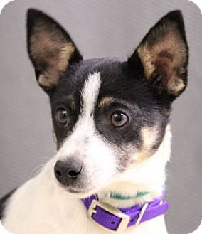 Jack Russell Terrier Mix Dog for adoption in Hardinsburg, Kentucky - KEELY