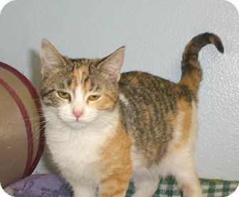 Domestic Shorthair Kitten for adoption in Knoxville, Iowa - Bug