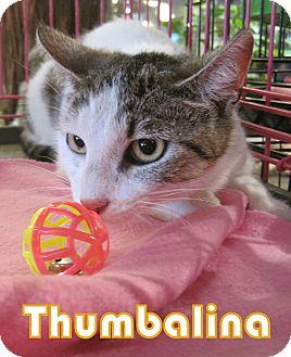 Domestic Shorthair Cat for adoption in Alhambra, California - Thumbalina