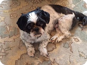 Shih Tzu Mix Dog for adoption in Rockaway, New Jersey - Domino