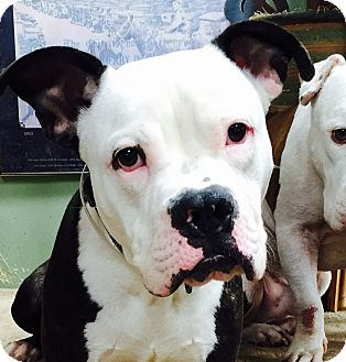 Pit Bull Terrier/Boxer Mix Dog for adoption in albany, New York - BANJO