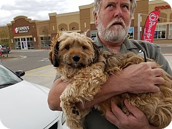 Yorkie, Yorkshire Terrier/Lhasa Apso Mix Dog for adoption in Heber City, Utah - Sweetie Pie