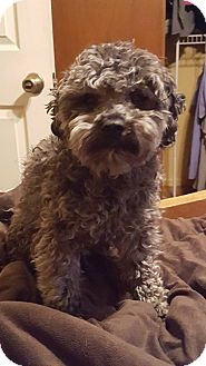 Poodle (Miniature) Mix Dog for adoption in Pueblo, Colorado - Lorenzo