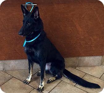 German Shepherd Dog Puppy for adoption in Oswego, Illinois - I'M ADOPTED Cajun Spice Rutkow