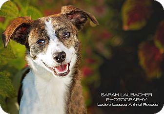 Jack Russell Terrier Mix Dog for adoption in Cincinnati, Ohio - Ava