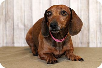 Dachshund Mix Dog for adoption in Waldorf, Maryland - Autumn