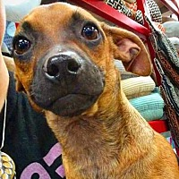 Adopt A Pet :: Bacall - Henderson, NV