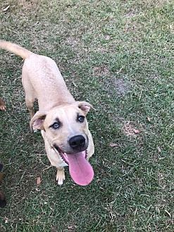Hound (Unknown Type) Mix Dog for adoption in Lake Charles, Louisiana - Bolt