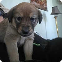 Adopt A Pet :: JADE - Treton, ON
