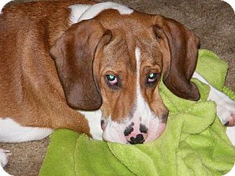 Coonhound Puppy for adoption in Winfield, Pennsylvania - Buddy