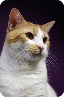 Domestic Shorthair Cat for adoption in Herndon, Virginia - Puddin' Pop