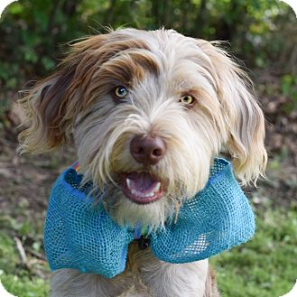 Schnauzer (Giant) Mix Dog for adoption in Denver, Colorado - Baxter