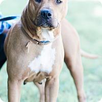 Adopt A Pet :: Belle $125 - Seneca, SC