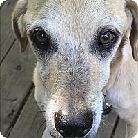 Adopt A Pet :: Myles (SPONSORED) - Springfield, MO