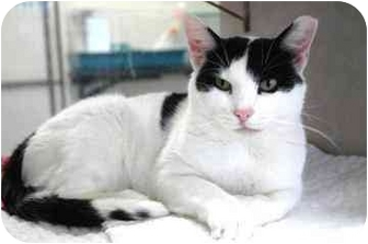 Domestic Shorthair Cat for adoption in Walker, Michigan - Cairo