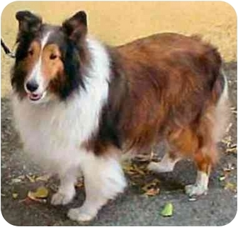 Sheltie, Shetland Sheepdog Dog for adoption in La Habra, California - Teddy