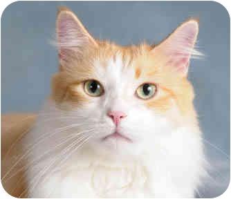 Domestic Mediumhair Cat for adoption in Chicago, Illinois - Lovie