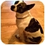 Photo 2 - Boston Terrier/Rat Terrier Mix Dog for adoption in Portland, Oregon - Brody